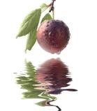 Dan fruto los ciruelos dulces violetas maduros imagen de archivo