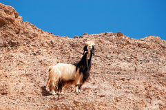 Mountains, goat, desert, landscape, climate change, Dana Biosphere Reserve, Jordan, Middle East. Middle East, 03/10/2013: a goat on a rock in Dana Biosphere stock photos