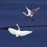 Dança do Egret Fotografia de Stock