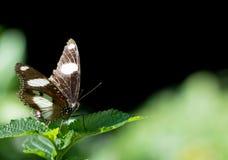 Danaid Eggfly蝴蝶 库存图片