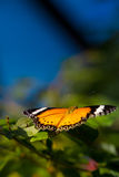 Danaid Eggfly Butterfly Stock Photo