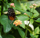 The Danaid Eggfly, female butterfly Stock Photography