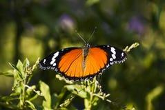 Danaid Eggfly o mariposa mímica (hembra) Imagen de archivo libre de regalías