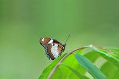Danaid uovo-vola la farfalla Immagini Stock Libere da Diritti