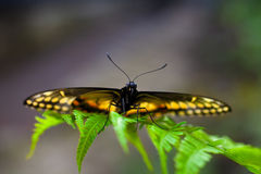 Danaidae butterfly Stock Images
