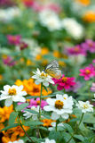 Danaidae butterfly perching on white cosmos Stock Photos