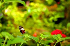 Danaini (tiger) butterfly Royalty Free Stock Photo