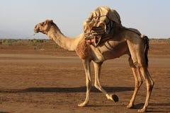 Danakil消沉的骆驼,埃塞俄比亚,东非 免版税库存照片