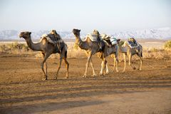 Camel caravans transporting salt blocks from Lake Assale. The Danakil depression — specifically the area surrounding Lake Afdera — is the place from which Royalty Free Stock Image