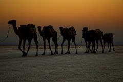 Camel caravans transporting salt blocks from Lake Assale. The Danakil depression — specifically the area surrounding Lake Afdera — is the place from which Royalty Free Stock Photography