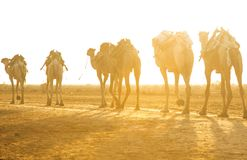 Camel caravans transporting salt blocks from Lake Assale. The Danakil depression — specifically the area surrounding Lake Afdera — is the place from which Royalty Free Stock Photos