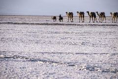 Caravans transporting salt blocks from Lake Assale. The Danakil depression — specifically the area surrounding Lake Afdera — is the place from which close to Stock Photography