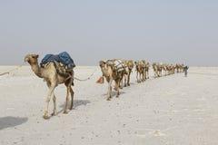 Danakil, Etiopía, el 22 de febrero de 2015: Los camellos llevan bloques de la sal en el desierto caliente e inhospitalario de Dan imagenes de archivo