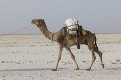 Danakil, Etiopía, el 22 de febrero de 2015: Un camello transporta bloques de la sal en el desierto caliente e inhospitalario de D foto de archivo