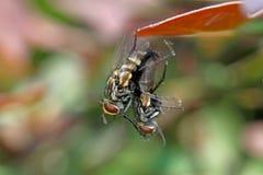 Danandeförälskelse för två flugor på växt i det wild Fotografering för Bildbyråer