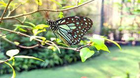 Single butterfly are perched on the branches. Royalty Free Stock Images