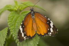 Danaus chrysippus. Also known as the Plain Tiger or African Monarch royalty free stock photography