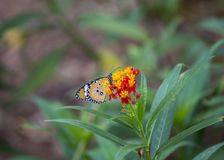 Danaus chrysippus butterfly Royalty Free Stock Image