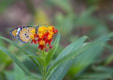 Danaus chrysippus butterfly Royalty Free Stock Photography
