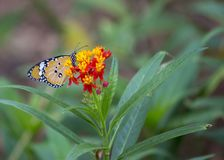 Danaus chrysippus butterfly. Spotted outdoors stock images