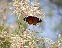 Danaus chrysippus Stock Photos