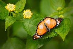 Danaus chrysippus, Plain tiger African queen butterfly sitting on the green leave with yellow bloom flowers. Beautiful insect in. The nature forest habitat royalty free stock photo