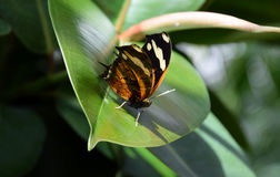 Danaus chrysippus, plain tiger butterfly on a green leaf. A plain tiger butterfly Danaus chrysippus on a green leaf Royalty Free Stock Photos