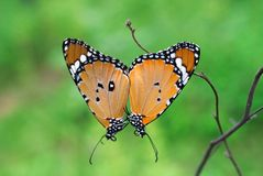 Danaus chrysippus or plain tiger butterfly mating. During monsoon season stock photography