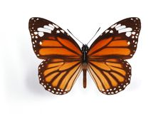 Danaus genutia Stock Images