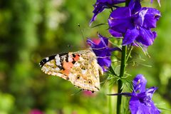 Danaus genutia, the common tiger sitting on the flower in the garden. Close-up macro styled stock photography of colorful. Danaus genutia, the common tiger royalty free stock photography