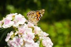 Danaus genutia pospolity tygrysi obsiadanie na kwiacie w ogródzie W górę makro- projektującej akcyjnej fotografii kolorowy obrazy royalty free