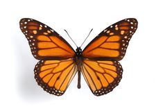 Danaus plexippus. On the white background royalty free stock photo