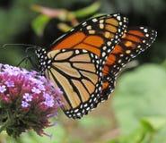 Danaus plexippus della farfalla di monarca che sorseggia nettare sul wildflower di bonariensis della verbena immagini stock libere da diritti