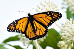 Danaus Plexippus för fjäril för manlig monark med den snabba banan royaltyfri foto