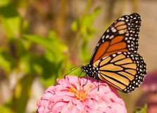 Danaus plexippus, migrating Monach butterfly. Feeding on a flower royalty free stock photo