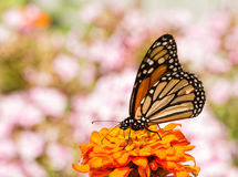 Danaus plexippus, Monarch butterfly, on an orange Zinnia flower. Framed by pink Phlox blooms on the background stock photography