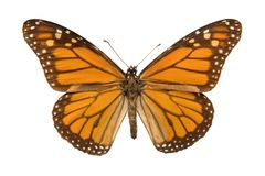 Danaus plexippus. Monarch butterfly or simply monarch Danaus plexippus isolated on white background Royalty Free Stock Image