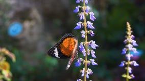 Danausgenutia van de tijgervlinder op bloem stock footage