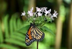 Danausplexippusfjäril med apelsinen och svart mönstrade vingar, på den vita blomman royaltyfria bilder