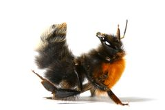 Dance bumble bee Royalty Free Stock Images
