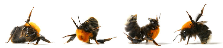 Dance bumble bee. Dance aerobic bumble bee isolated on white background royalty free stock photos
