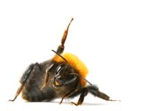 Dance bumble bee. Dance aerobic bumble bee isolated on white background stock photography