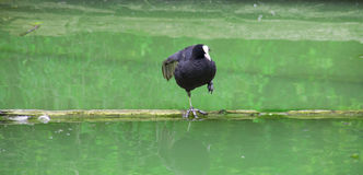 Dance of the coot Royalty Free Stock Photography