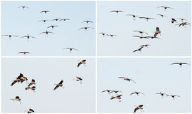 A Dance of Cranes Royalty Free Stock Photo