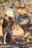 The dance for dominance. By two coyotes Stock Photo