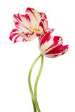 Dance of flowers. Pink-white tulips isolated on white Royalty Free Stock Images
