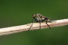 Dance fly (empis livida). Small dance fly (empis livida) sitting on reet, isolated on a green background royalty free stock photos