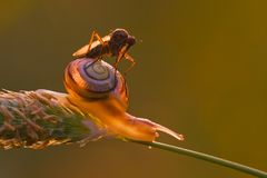 Dance fly sitting on a snail Stock Photos
