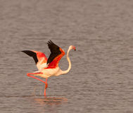 The dance of the Greater Flamingo Royalty Free Stock Images