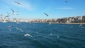 Dance of gulls, Bosphorus Royalty Free Stock Image